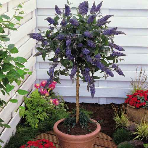 High Quality Is Another Option If You Like Vitex A Lot, Again   Same Deal As Vitex, You  Will Need To Prune It Heavily. Buddleia Can Be Pruned