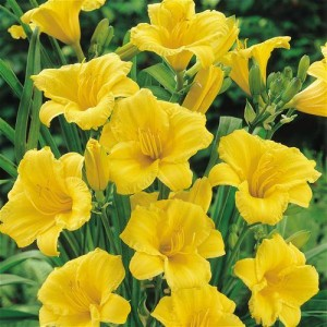 Hemerocallis daylily 'Daily Bread'