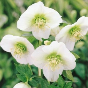 Helleborus (Christmas Rose)