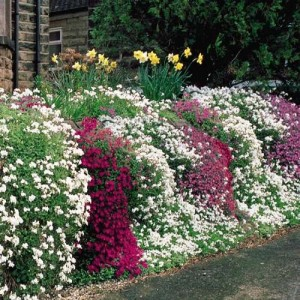 Creeping Phlox Mix