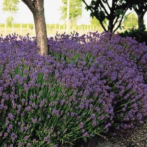 Lavender 'Hidcote' (Pack of 5)