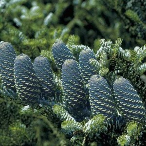 Abies Koreana Blue Korean Spruce