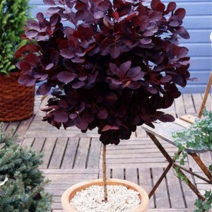 Standard Cotinus coggygria 'Royal Purple'